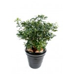 PITTOSPORUM BUISSON