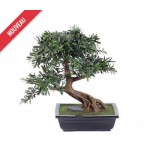 BONSAI BLACK WILLOW EN COUPE